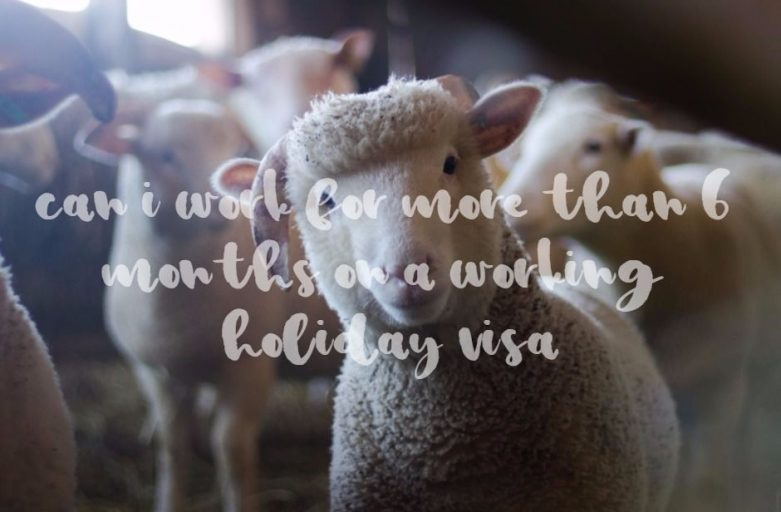 6-months-working-holiday-sheep
